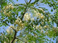 通过对辣木树了解,就知道辣木籽的价值