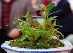 怎样种铁皮石斛盆栽